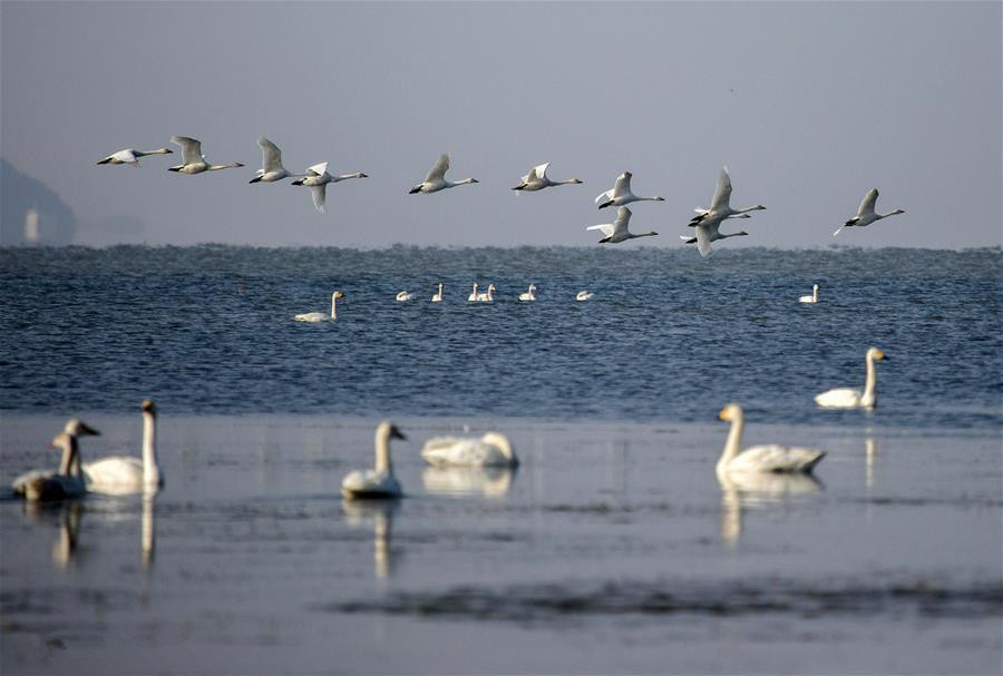 Swans fly over Poyang Lake in Jiangxi