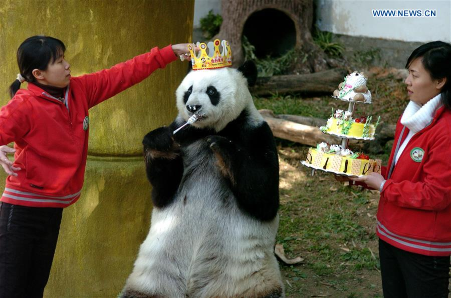 Giant panda Basi celebrates 35th birthday
