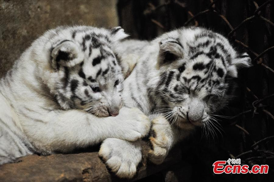 Five white tiger cubs become one month old