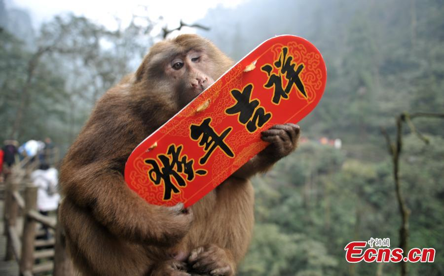 Mount Emei monkeys join Spring Festival celebrations