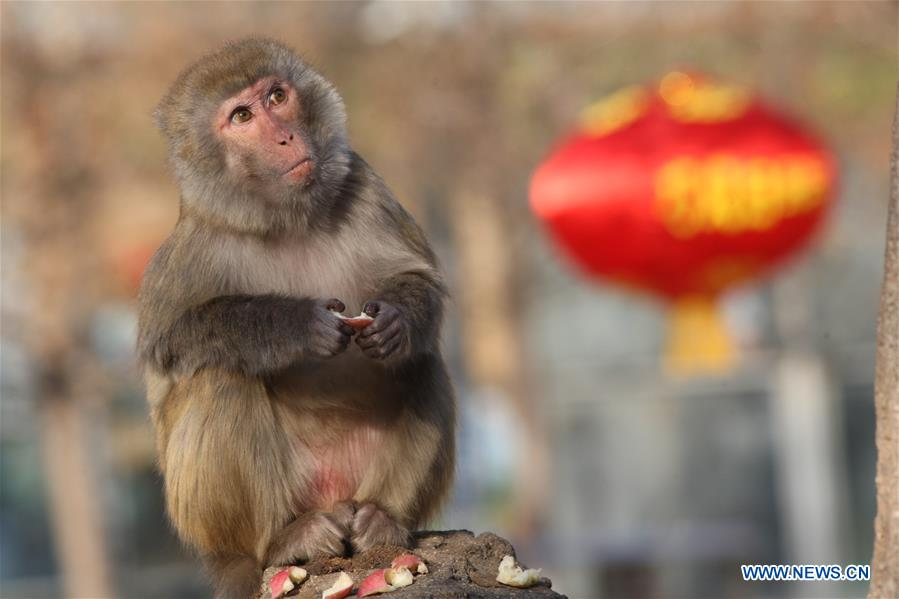 Macaques celebrate Chinese Lunar New Year