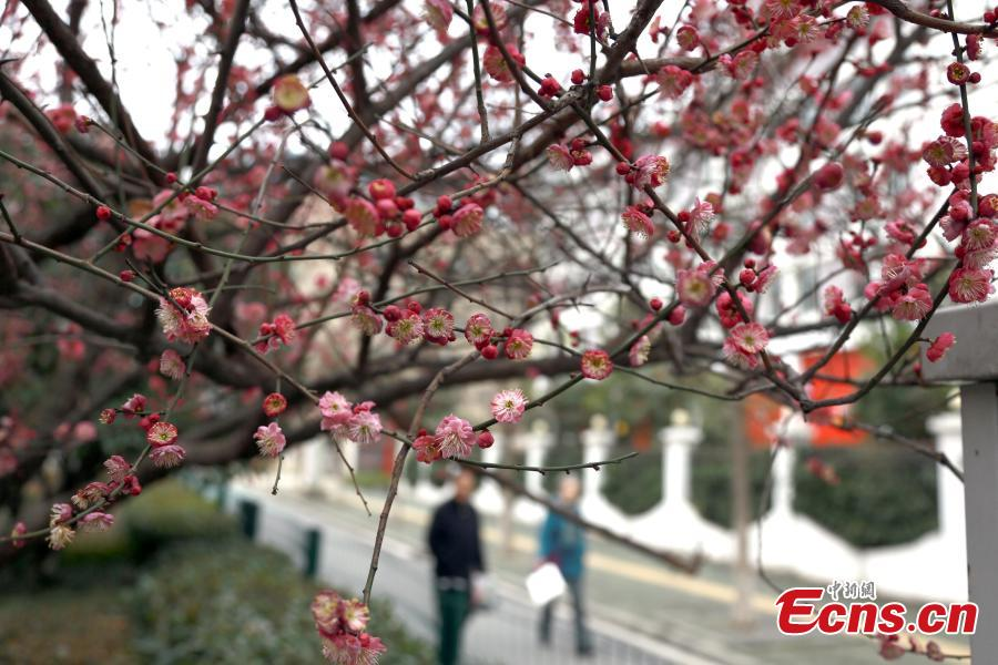 Plum blossom delights visitors in Wuhan