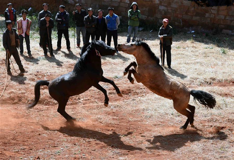 Bull fight, horse fight games held in Yunnan