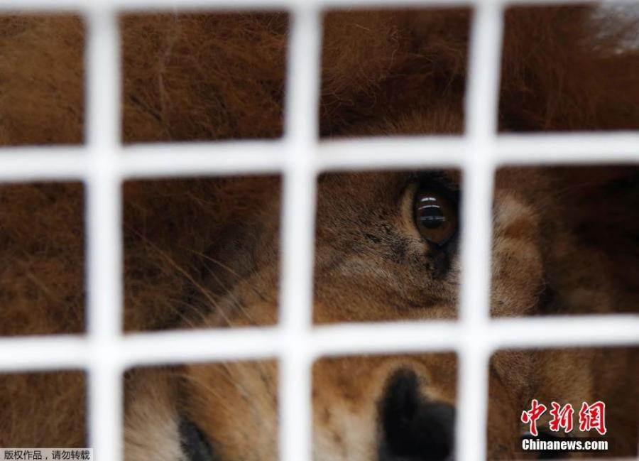 33 rescued lions arrive in South Africa in airlift