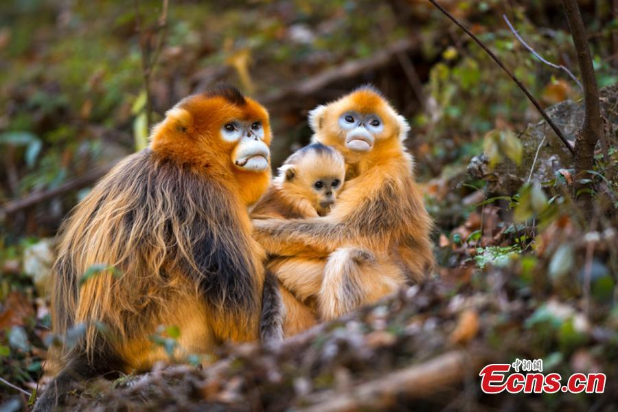 Photographer Ding: Fascinated with golden snub-nosed monkey