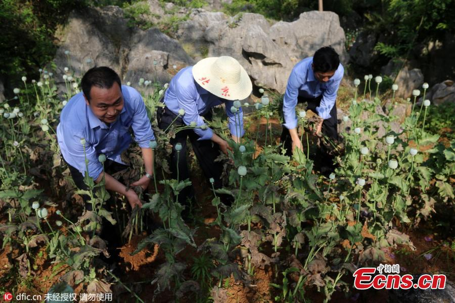 Two arrested for growing opium poppies