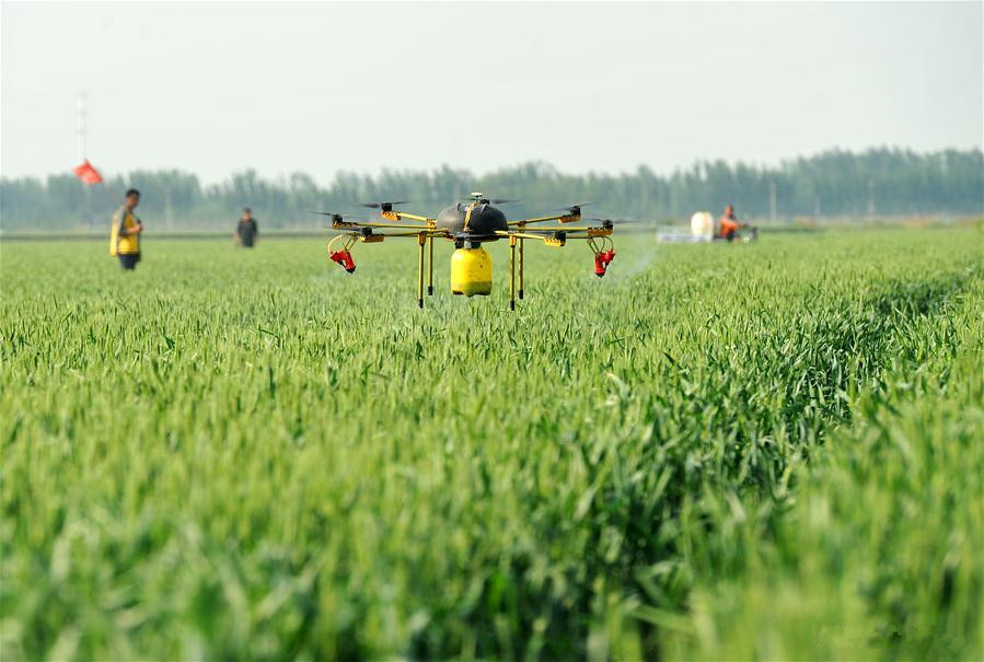 Drones used to spray pesticide over wheat fields