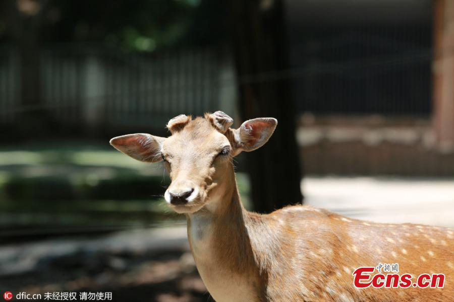 Zoo cuts deer antlers to avert fighting