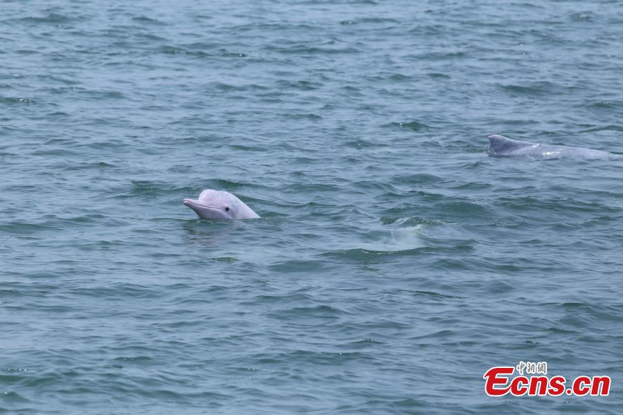 Chinese white dolphins active in Baibu Bay