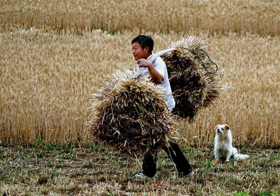 Major agricultural province of China enters into wheat harvest season