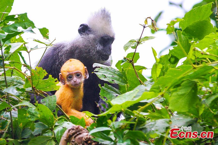 South China's nature reserve home to endangered primate