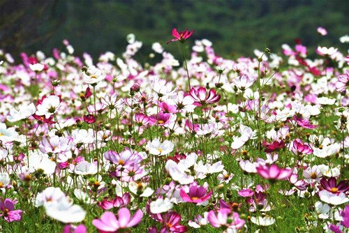 Fields of flowers blooming in SW China's Yunnan