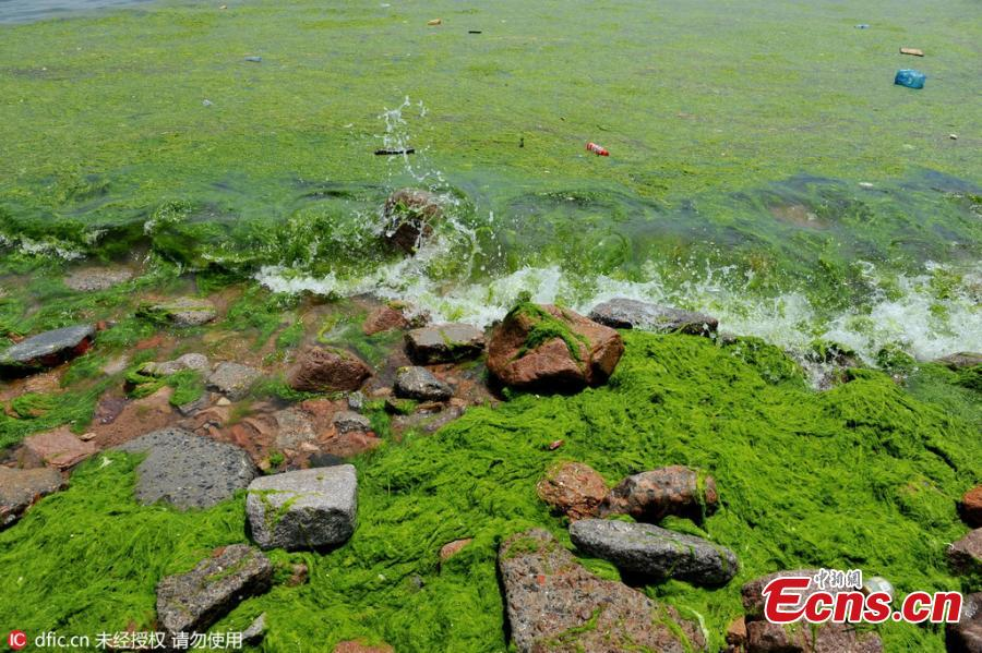 Algae boom again threatens East China city