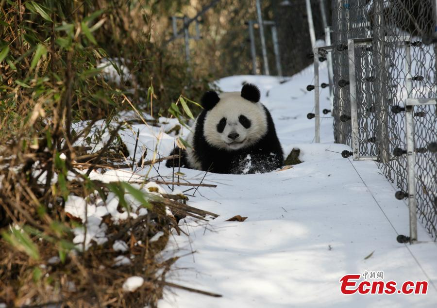 Two pandas to go back into nature after training at SW China base