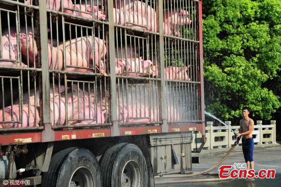 Pigs on the move struggle in scorching temperatures