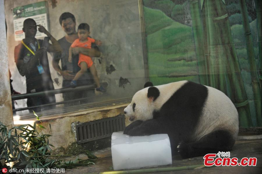 Panda battles summer heat with ice