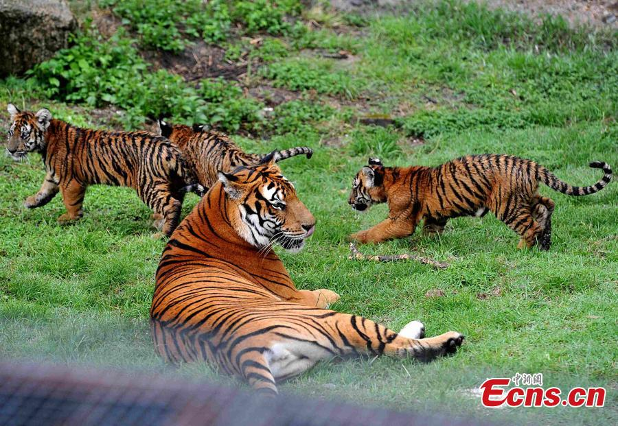 South China tigers thrive in nature reserve