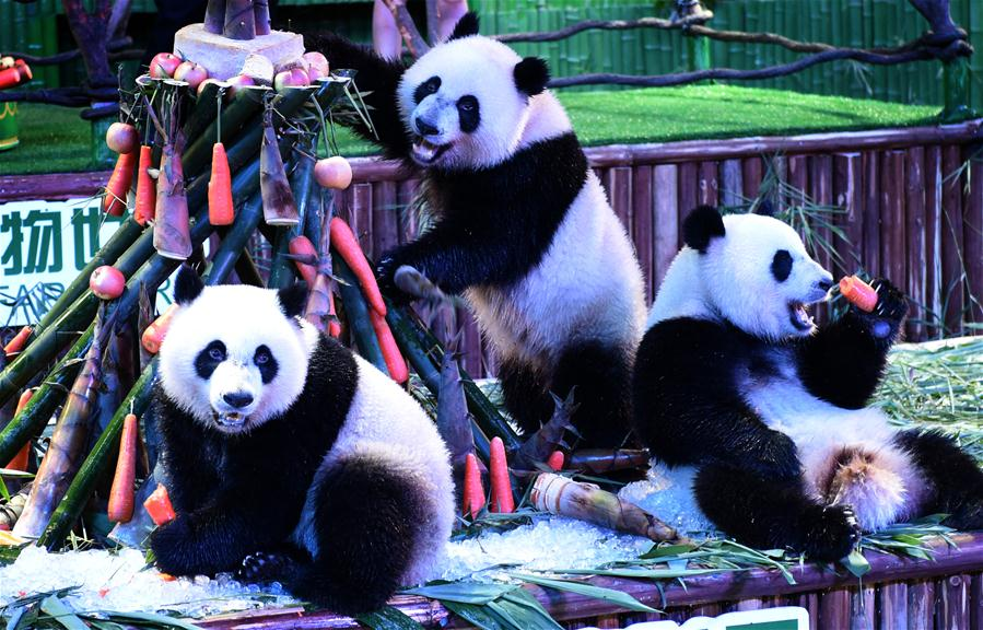 World's only surviving panda triplet celebrates second birthday