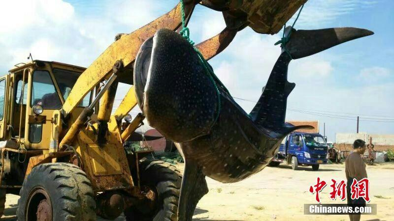 1.5 ton dead shark caught in East China beach