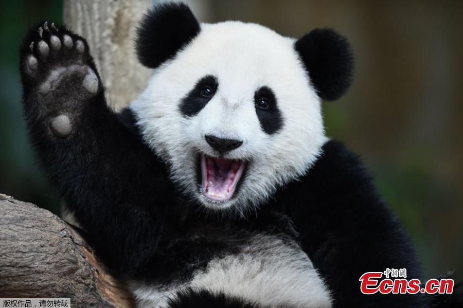 Panda Nuan Nuan in Malaysia turns one year old