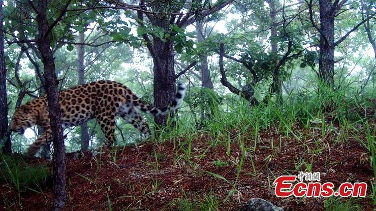 Endangered Amur leopard found in NE China