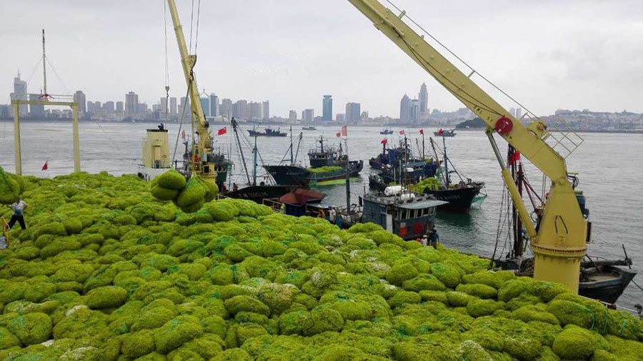 Seaweed surge gets new life in east China