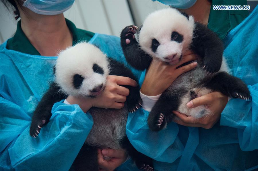 Giant panda twin cubs meet public in Macao