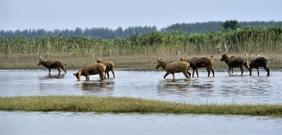Elks well protected at national nature reserve in Hubei