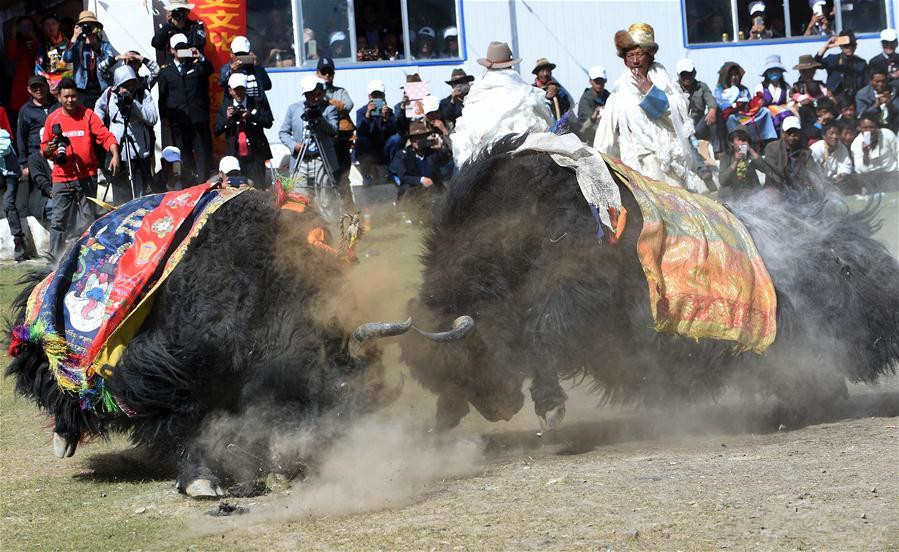 Bullfighting festival held on Damxung Grassland in Tibet