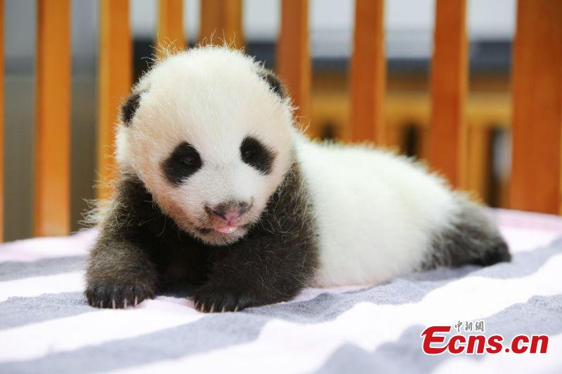 Two-month-old giant panda named 'Peanut' in Shanghai