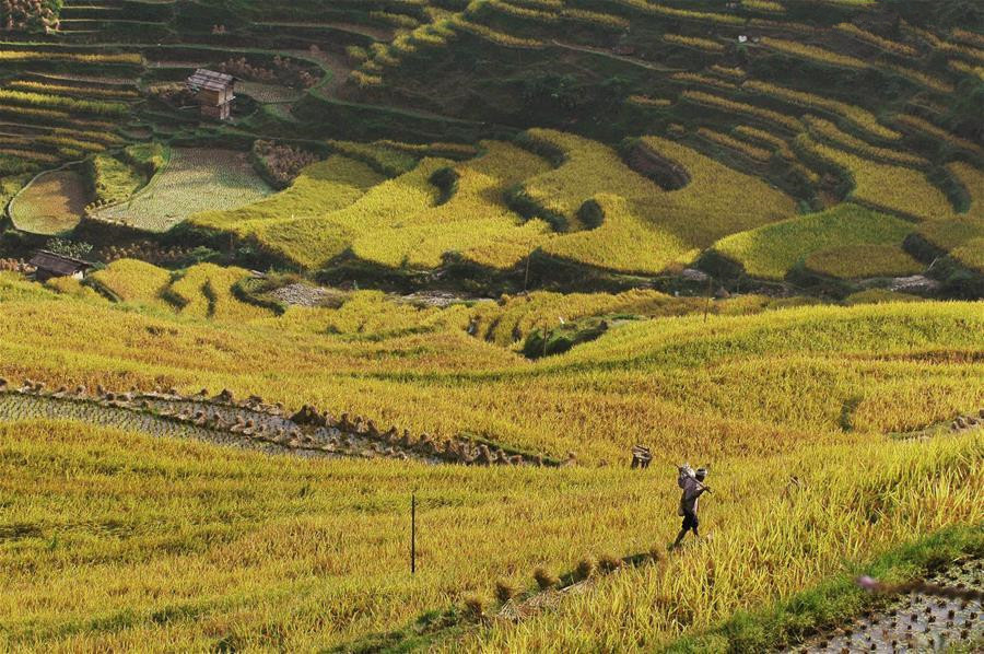 Autumn scenery of terraces in SW China's county