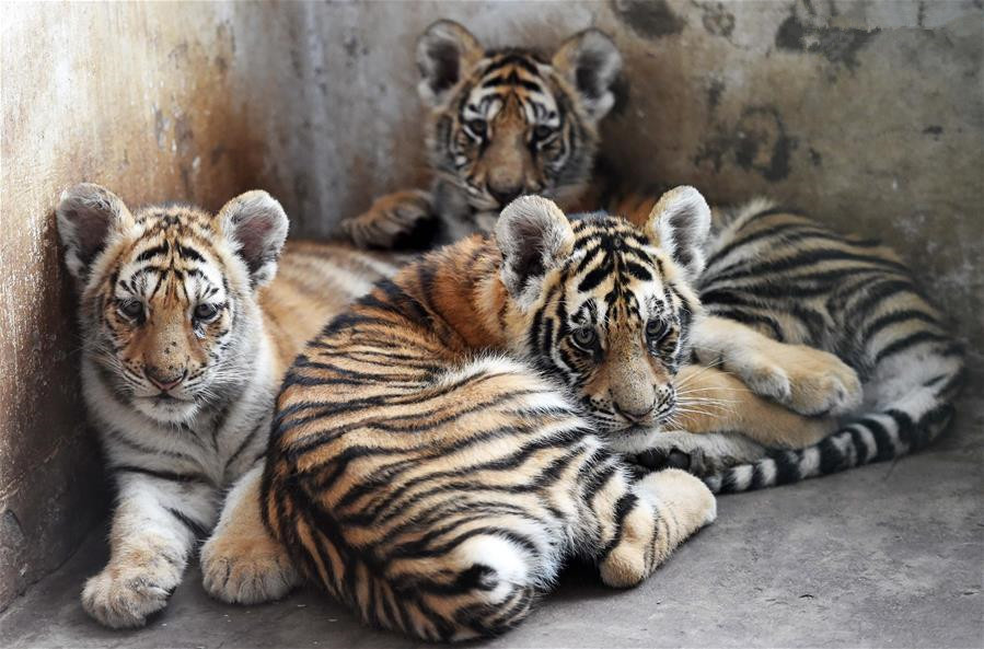 Over 100 tiger cubs born in NE China's breeding center