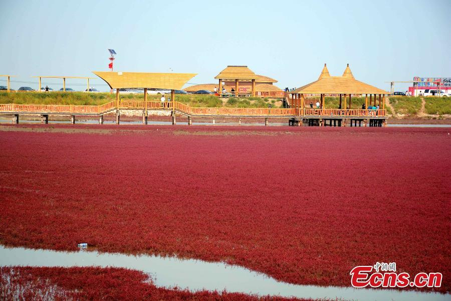 Panjin Red Beach, a natural spectacle