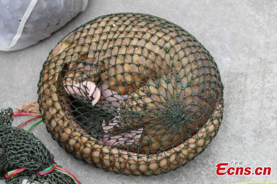 Guangdong police rescues 61 live pangolins