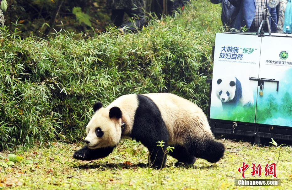 Two captive-bred pandas back in nature