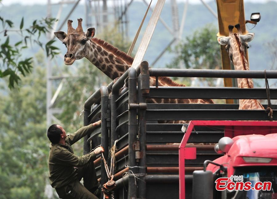 Crane used to move giraffe at Yunnan zoo