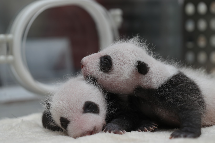 Captive panda twins meet visitors