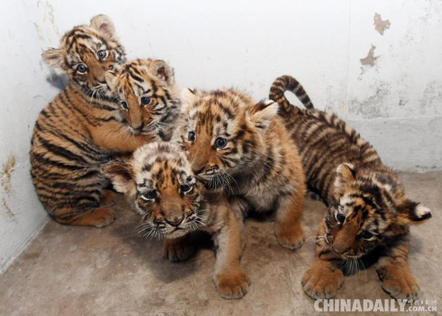 Siberian tiger quintuplets in northeast China now two months old