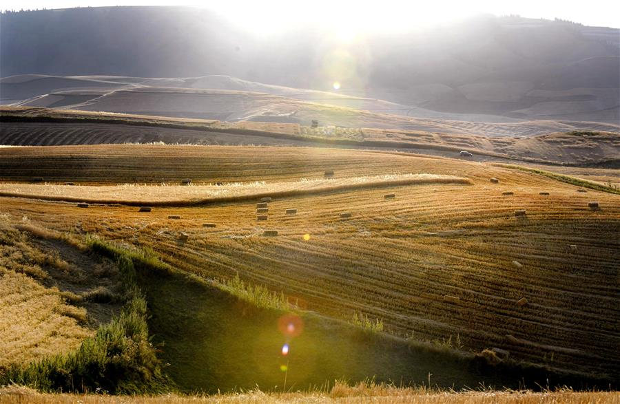 Harvest scenery of wheat fields in Xinjiang