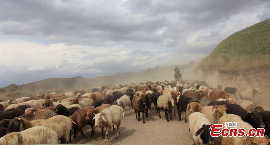 Spectacular seasonal livestock migration in Xinjiang