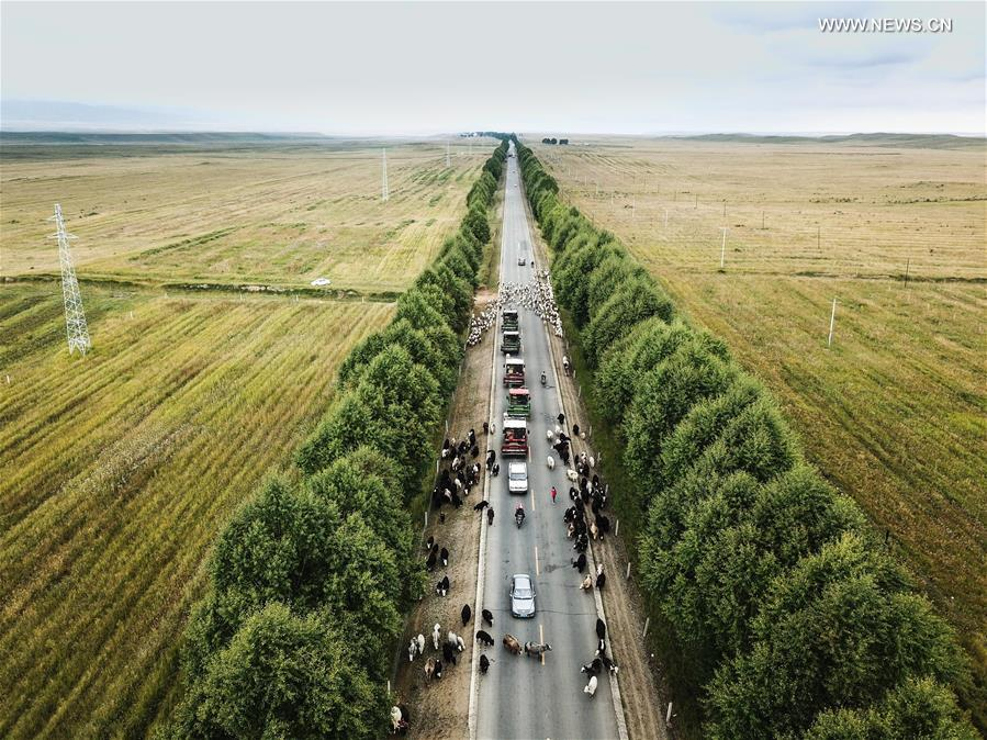 Herd moving forward along road during migration in Qinghai