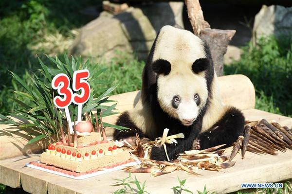 Panda Xinxing's 35th birthday celebrated at Chongqing Zoo