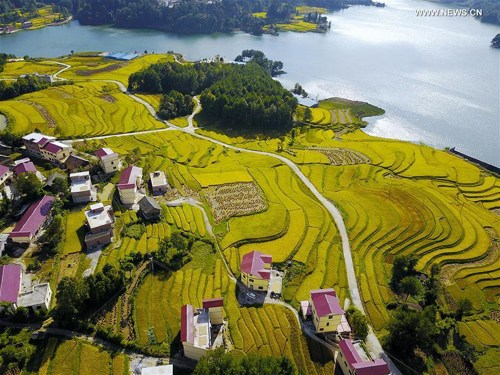 Guizhou ready for rice harvest