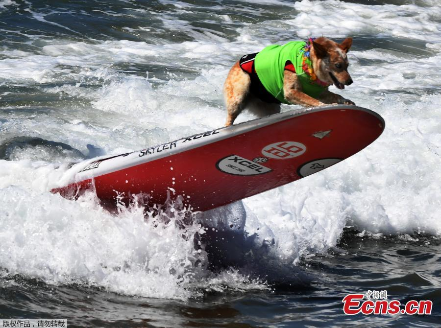 Pups out for Surf Dog Competition in California