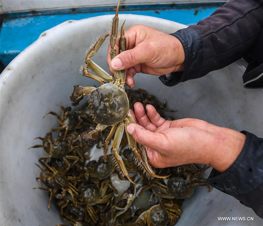 Breeders embrace harvest season of Taihu crabs in Zhejiang