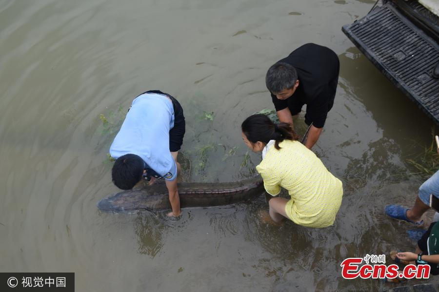 First in 30 years - wild Chinese sturgeon found in upper Yangtze River