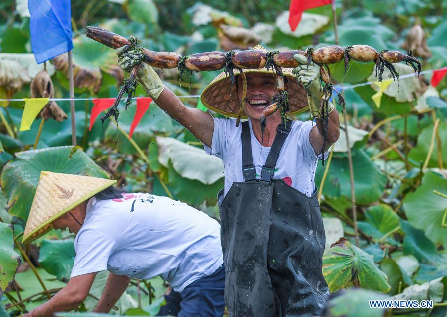 Local people celebrate harvest of lotus roots in Zhejiang