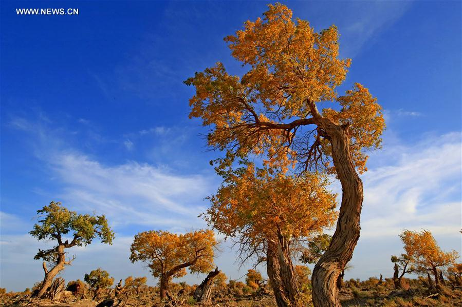 Autumn scenery of golden populus diversifolia trees in Xinjiang