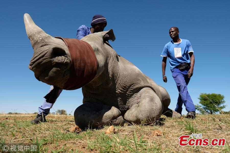 South African rancher protects rhinos by dehorning