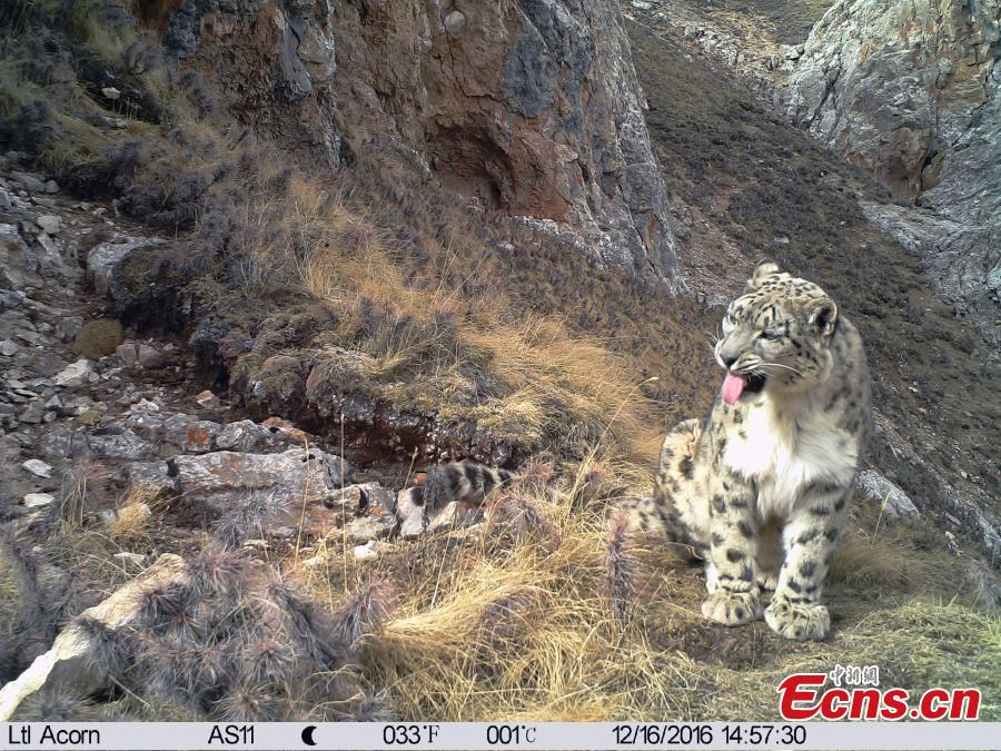 Snow leopards roam along Lancang River headstreams